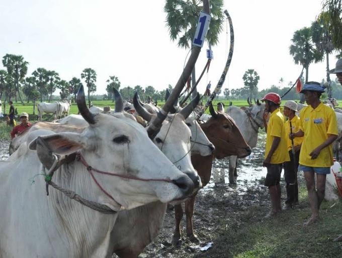 Number 1 mang đến không khí náo nhiệt cho Lễ hội đua bò Bảy Núi