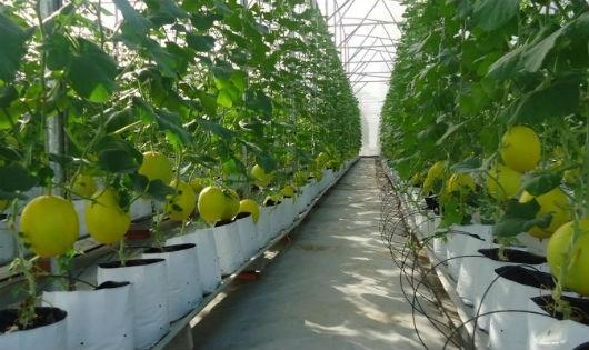 Nhật Bản đầu tư vào nông nghiệp Việt Nam mang theo công nghệ sản xuất tiên tiến.