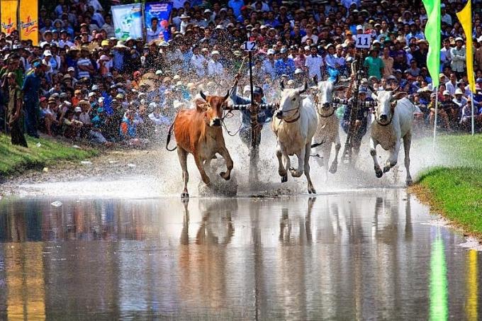 Đua bò Bảy Núi là nét văn hóa truyền thống đặc trưng của đồng bào dân tộc Khmer tại khu vực An Giang.