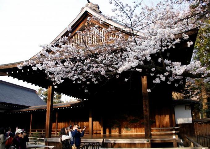 Hoa anh đào đang nở tại Yasukuni Shrine ở Tokyo.