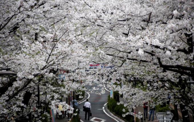 Một người đàn ông đi bộ dưới những gốc cây anh đào ở Tokyo.