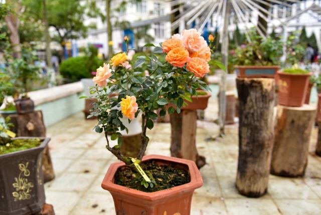 Một chậu hồng cam khoe sắc, nổi bật giữ hàng nghìn cây hồng ở lễ hội.