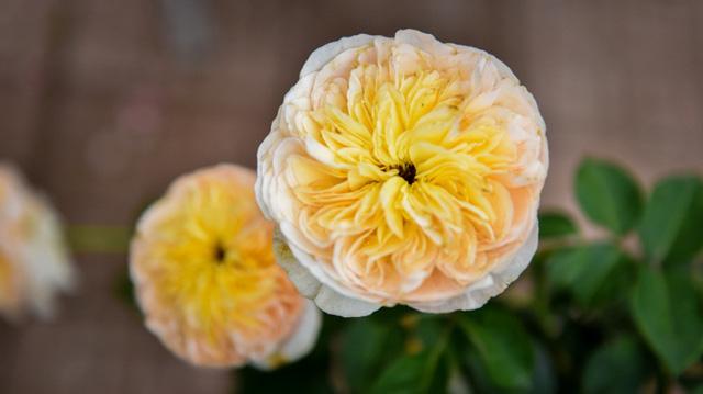 Hồng Juliet có vẻ đẹp rất đặc biệt. Đây là giống hồng nhập khẩu, phải chăm sóc rất kỳ công mới có thể phát triển ở Việt Nam.
