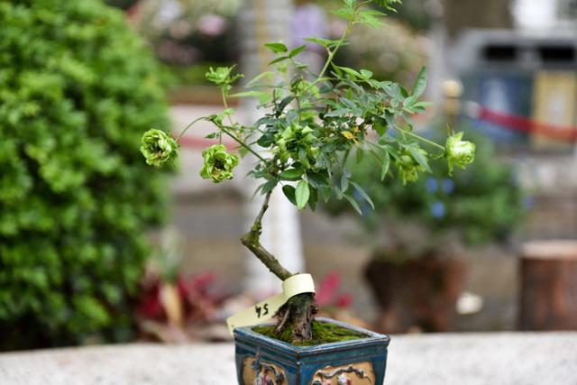 Góp mặt trong lễ hội lần này có nhiều cây hoa hồng dáng bonsai độc đáo.