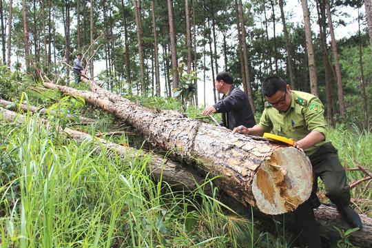 Tại tiểu khu 270 huyện Lâm Hà, tỉnh Lâm Đồng rừng thông 30 năm tuổi bị lâm tặc đốn hạ có bàn tay