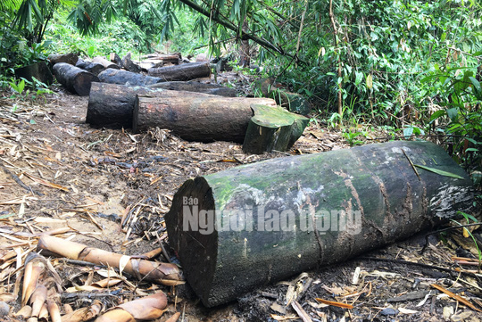 Tại tiểu khu 545 thuộc rừng phòng hộ huyện Đạ Tẻh (Lâm Đồng) bị lâm tặc đốn hạ ngổn ngang.