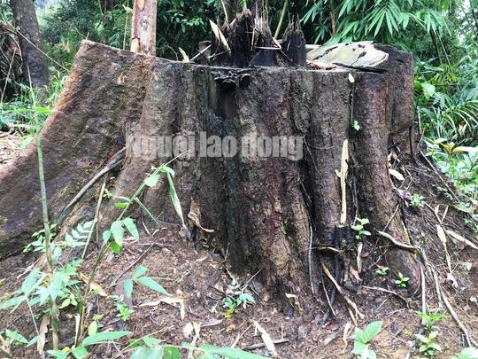 Nhiều gốc cây rừng tại tiểu khu 545 có đường kính 3 đến 4 người ôm không xuể.