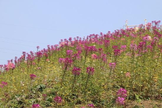Những vườn hoa trên đỉnh đèo bung nở càng tô thêm cảnh sắc tươi đẹp nơi núi rừng Tây Bắc