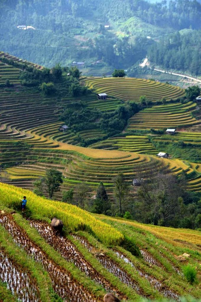 Một phần những thửa ruộng lúa chín ở xã La Pán Tẩn đã được gặt sớm .