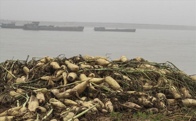 Nếu như những mùa vụ trước, người nông dân trồng củ cải nơi đây thu lãi cả trăm triệu thì giờ đây lao đao với loài cây này.