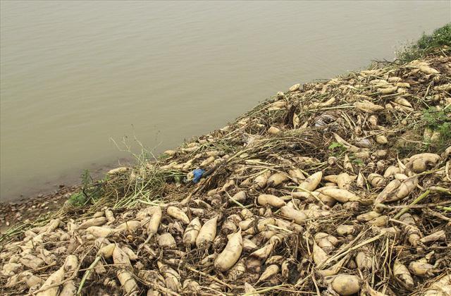 Thậm chí người dân còn phải thuê người dọn ruộng, mang củ cải đi vứt bỏ với mức giá 1 - 1,5 triệu đồng/sào.