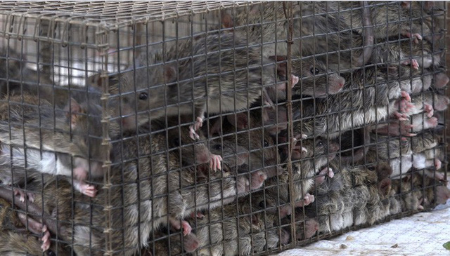 Săn chuột đồng nghề