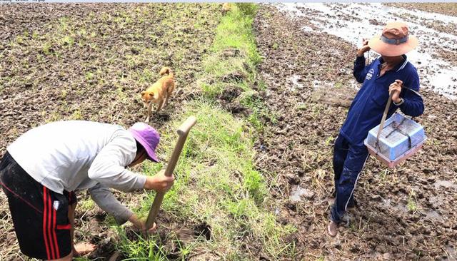 Khi ruộng lúa thu hoạch lúa xong, chuột đồng không còn nơi trú ẩn sẽ đào hang lẩn trốn. Vì vậy, những người săn chuột đồng cũng dễ dàng tóm gọn được chuột bằng cách đào hang hoặc gài rập.