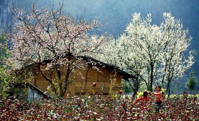 Bên cạnh những loại cây như đào, quất, mai hay các loại cây ngũ quả thì những cây hoa mận rừng trắng đang là mặt hàng được