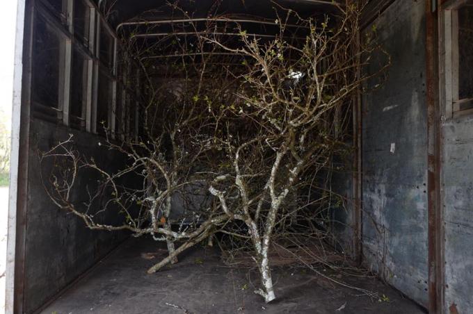 Những cây già, thân cây có rêu phủ, sần sùi giá càng cao.