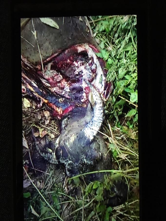 Xác trâu bị kẻ trộm giết hại, xẻ một phần thịt rồi bỏ lại