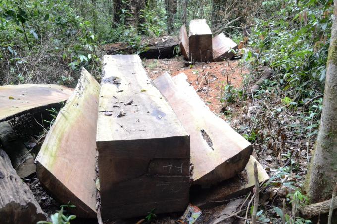 Gỗ Du sam được xẻ hộp tại rừng Nam Nung chờ vận chuyển ra ngoài.