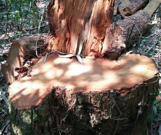 Gốc cây gỗ lớn bị cưa hạ tại khu rừng gần xã Đắk Long.