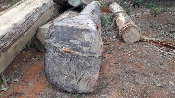 Những lóng gỗ lớn được trục vớt lên bờ