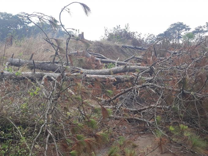 Thông bị triệt hạ, cành nhánh ngổn ngang tại hiện trường.