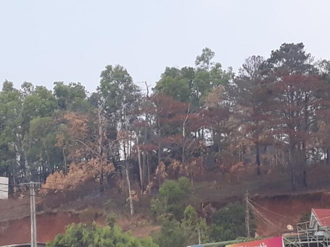 Khu mới cưa là 11 gốc, còn khu này có nhiều cây sắp cháy hết và nhiều nơi cây bị ken gốc.