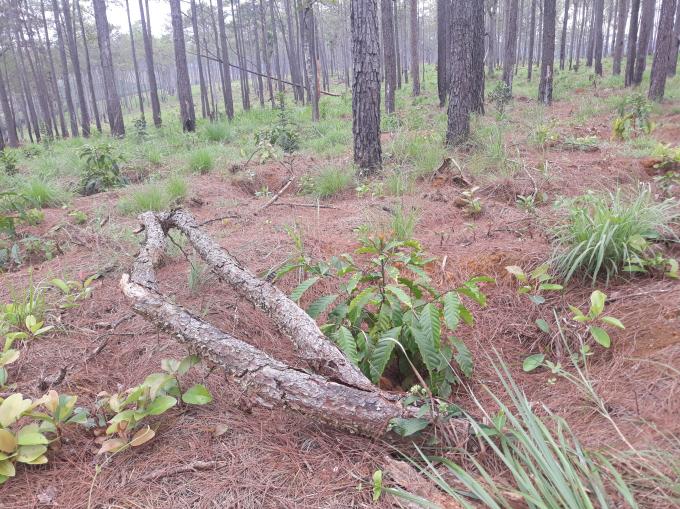 Đất rừng của Công ty TNHH Nam Nam đã bị phá hết, thay vào đó là bán đất cho dân trồng cà phê.