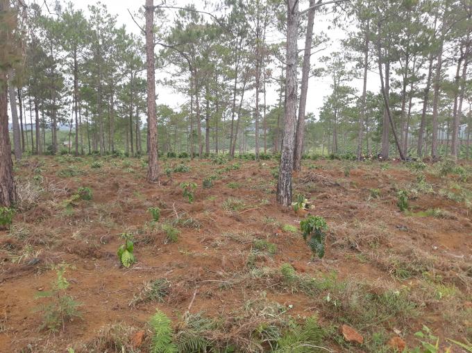 Rừng vẫn đang bị tàn phá, đất đã bán cho dân để trục lợi cả nghìn tỉ đồng nhưng vẫn chưa cơ quan nào xử lý.