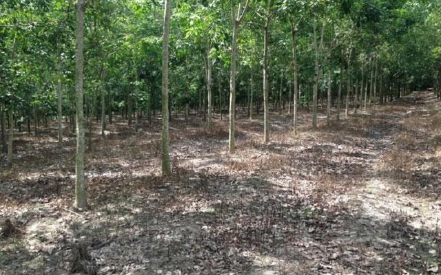 Nhiều diện tích đất rừng thuộc chương trình 135 ở Đắk Nôngđã được cấp quyền sử dụng đất trái quy định