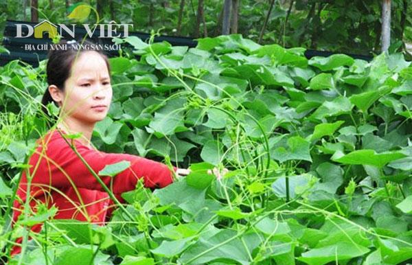 Su su Tam Đảo, 1 trong 69 địa chỉ xanh được chứng nhận đầu tiên. Ảnh:Trần Quang