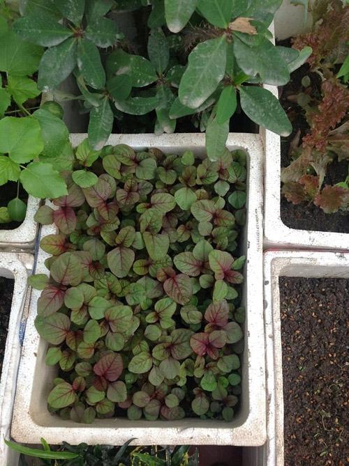 Dền đỏ được gieo đại tràtrong thùng xốp đểtỉa ra trồng thùng khác.