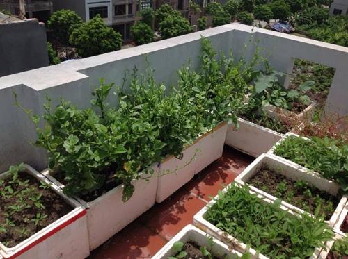Nắng và nước là yếu tố quan trọng giúp rau sinh trưởng tốt.