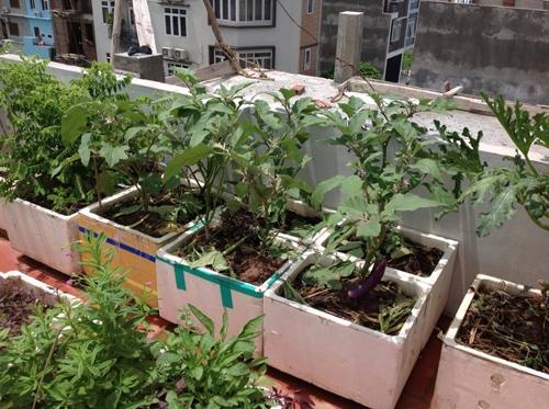 Cà tím có thể trồng và cho quả quanh năm.