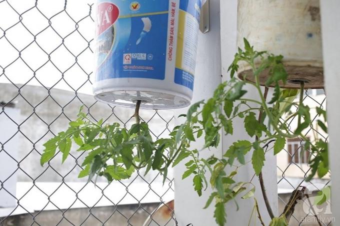 Cà chua được anh trồng cả trong chậu thông thường và chậu treo ngược.