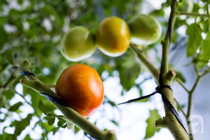 Những trái chín đầu tiên.