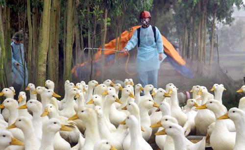 Cúm gia cậm có nguy cơ xâm nhập vào Việt Nam rất lớn. Ảnh: Vietnamnet