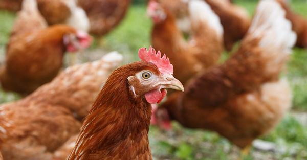 Virus H5N1 độc lực cao được phát hiện trên gà ở làng Kampung Pulau Tebu, bang Kelantan, Đông Bắc Malaysia. Ảnh: REUTERS