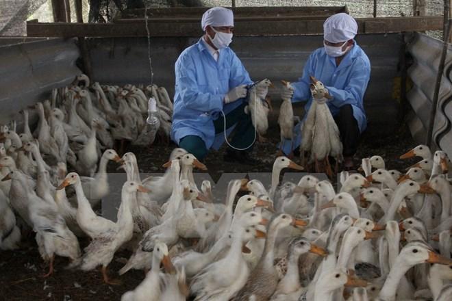 Cả nước hiện đang có 7 ổ dịch cúm xảy ra tại 8 hộ chăn nuôi trên địa bàn 5 tỉnh, thành phố.