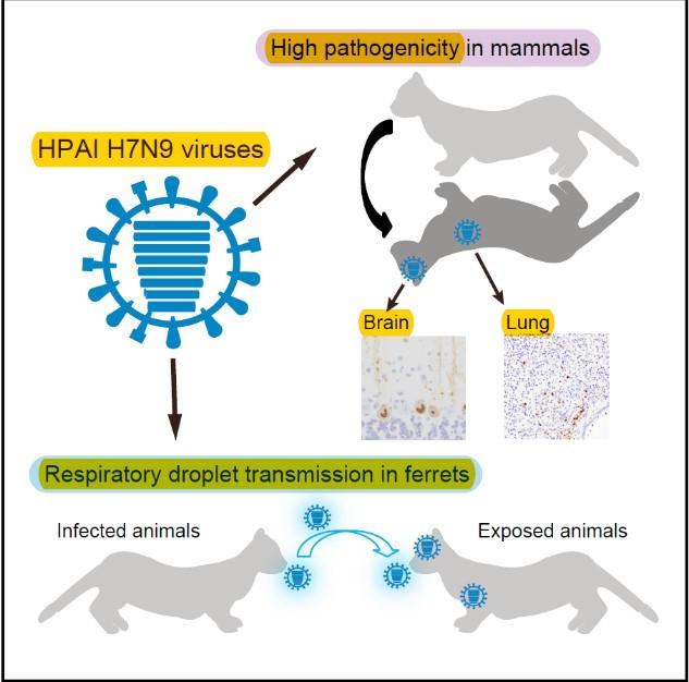 Phát hiện vi rút cúm A(H7N9) độc lực cao có thể lây truyền và gây chết ở động vật. Ảnh: Cục Y tế Dự phòng.