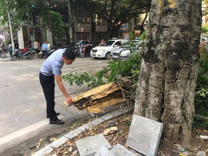 Theo quan sát, gốc cây bị đổ chừng 1 vòng ôm có tuổi đời hơn 10 năm bên trong đã bị mục ruỗng.