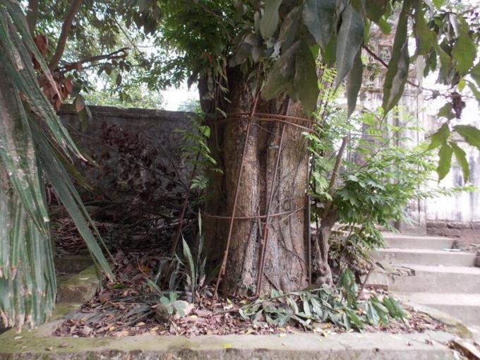 Cây sưa cổ thụ có đường kính 2 người ôm không xuể ở thôn Phụ Chính được rào chắn cẩn thận.