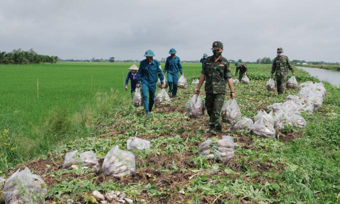 Những hoạt động, Cán bộ, chiến sĩ Bộ CHQS TP Cần Thơ giúp bà con nông dân xã Thạnh Lộc, huyện Vĩnh Thạnh thu hoạch, vận chuyển nông sản.