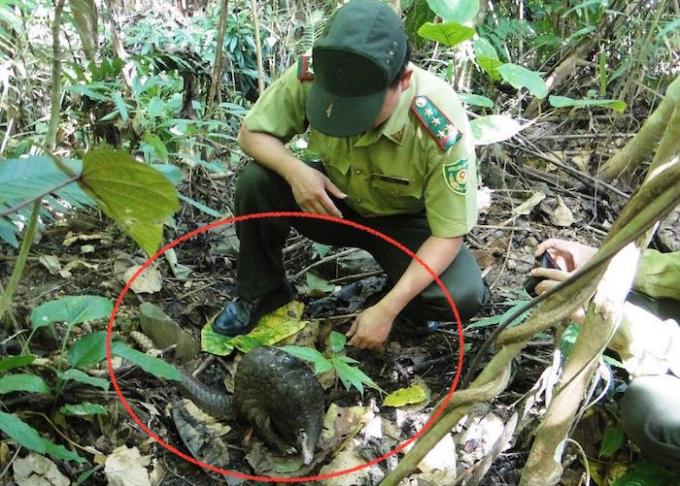 Cán bộ kiểm lâm của Vườn quốc gia Pù Mát ghi lại hình ảnh tê tê trước khi thả vào rừng.