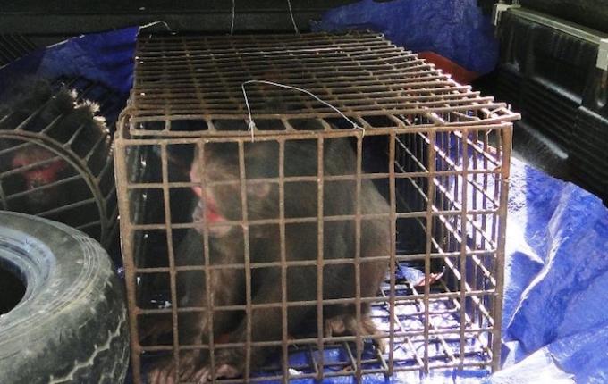 Cá thể khỉ mặt đỏ nuôi nhốt trong lồng sắt, giờ được giải phóng về rừng.