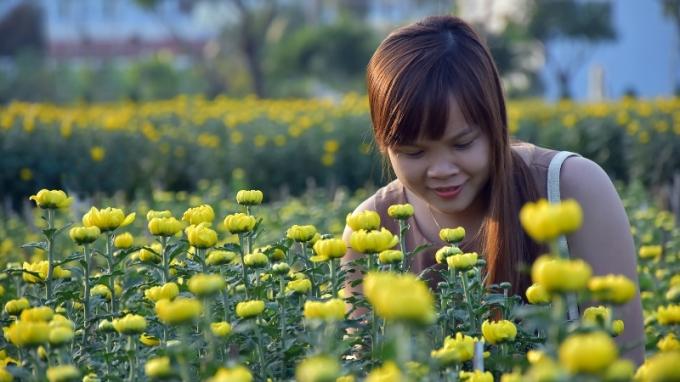 Hoa Cúc ở Đà Nẵng nở đều và đẹp kịp đón tết.