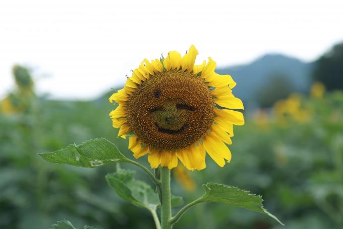 Năm nay, để phục vụ tốt hơn cho người du lịch, công ty TH đã mở rộng diện tích trồng hoa lên 60ha. Các cây hoa cũng được trồng không quá cao, nở luân phiên từ giữa tháng 11 đến tháng 12