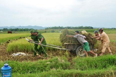 Công an huyện Hương Sơn (Hà Tĩnh) giúp dân thu hoạch lúa chạy bão số 10. Ảnh: MINH LÝ