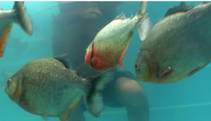 Đàn cá dữ tỏ ra