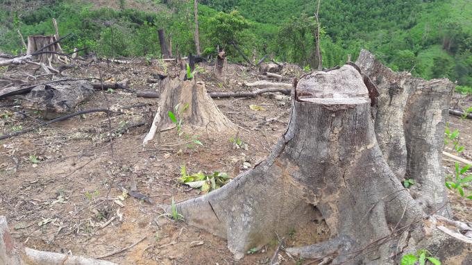 Diện tích rừng bị chặt phá để trồng keo lai.