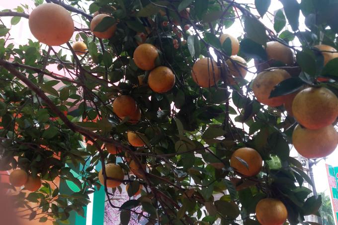 Một cây cam Xã Đào trĩu quả được mang đến trưng bày tại hội chợ.