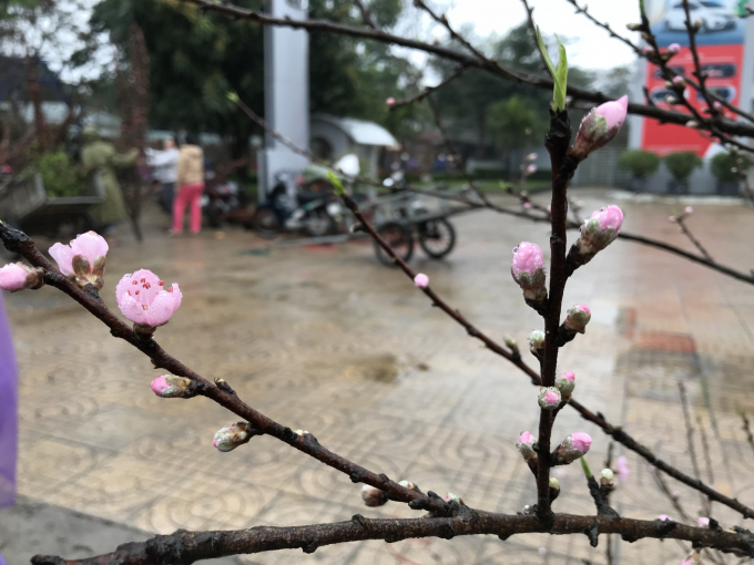 Nhiều người dầm mưa, chịu cái lạnh tê tái ra tận lề đường để bán đào tết